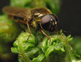 Syrphidae · žiedmusės 7636