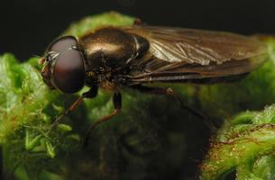 Syrphidae · žiedmusės 7639