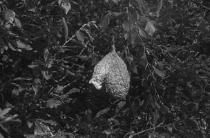 Remiz pendulinus nest · remeza, lizdas
