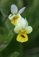 Viola arvensis · dirvinė našlaitė
