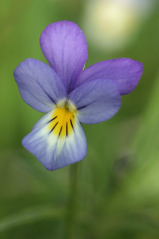 Viola-tricolor-7688.jpg