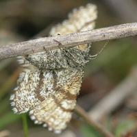Ematurga atomaria female · rudasprindis ♀
