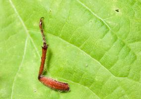 Melolontha sp., leg · grambuolys, koja