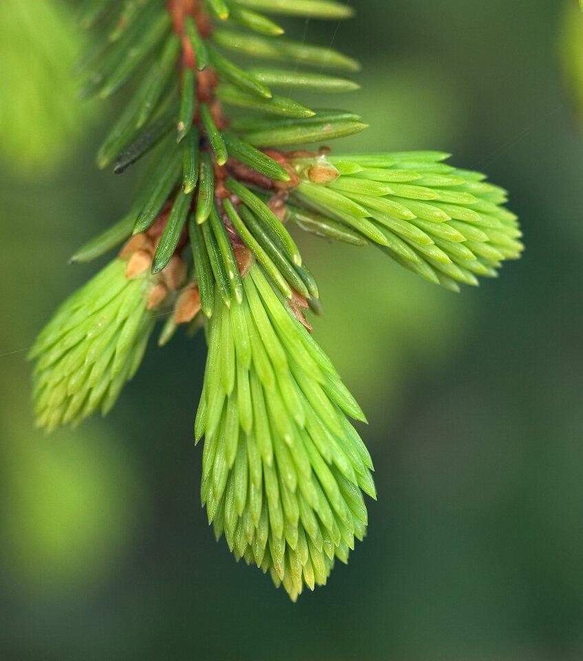 7762-Picea-abies.jpg