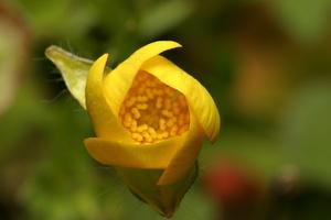 Ranunculus sp. 7829