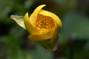 Ranunculus sp. 7830