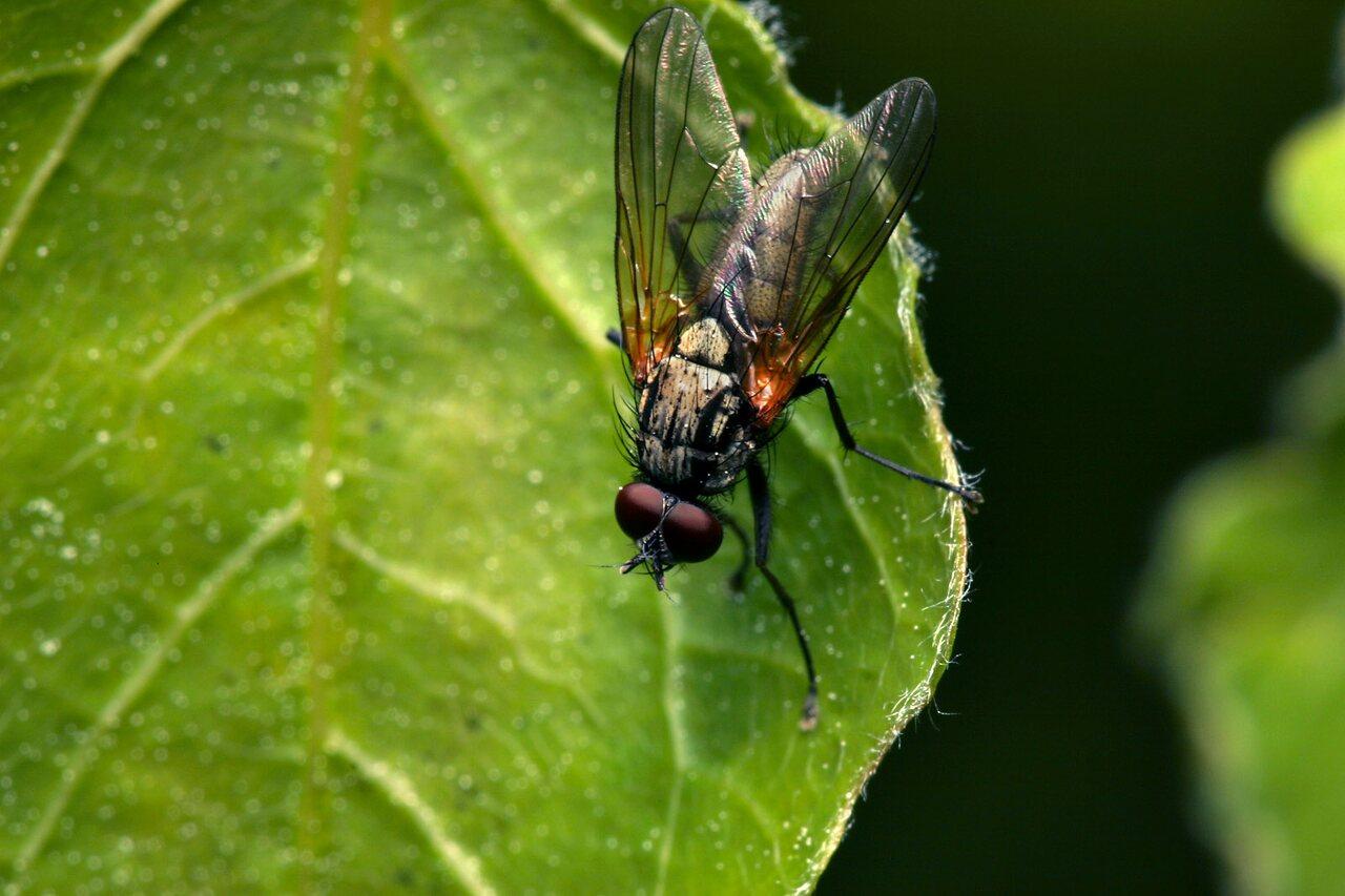 Diptera-7834.jpg