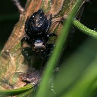 Salticidae · šokliavoris