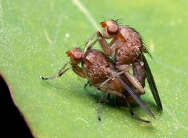 Dryomyzidae 7837