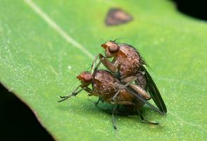 Dryomyzidae 7838