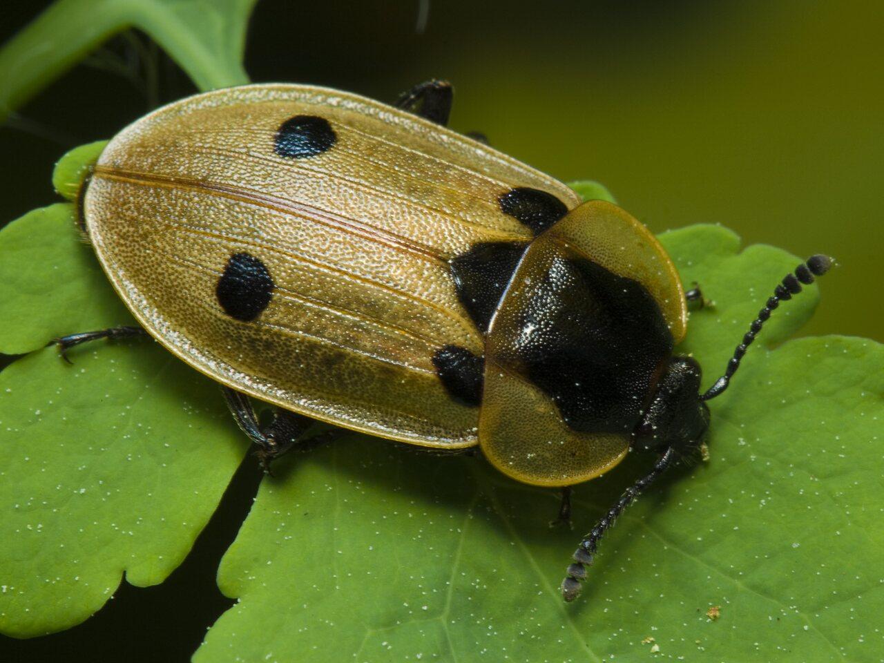 Dendroxena-quadrimaculata-7844.jpg