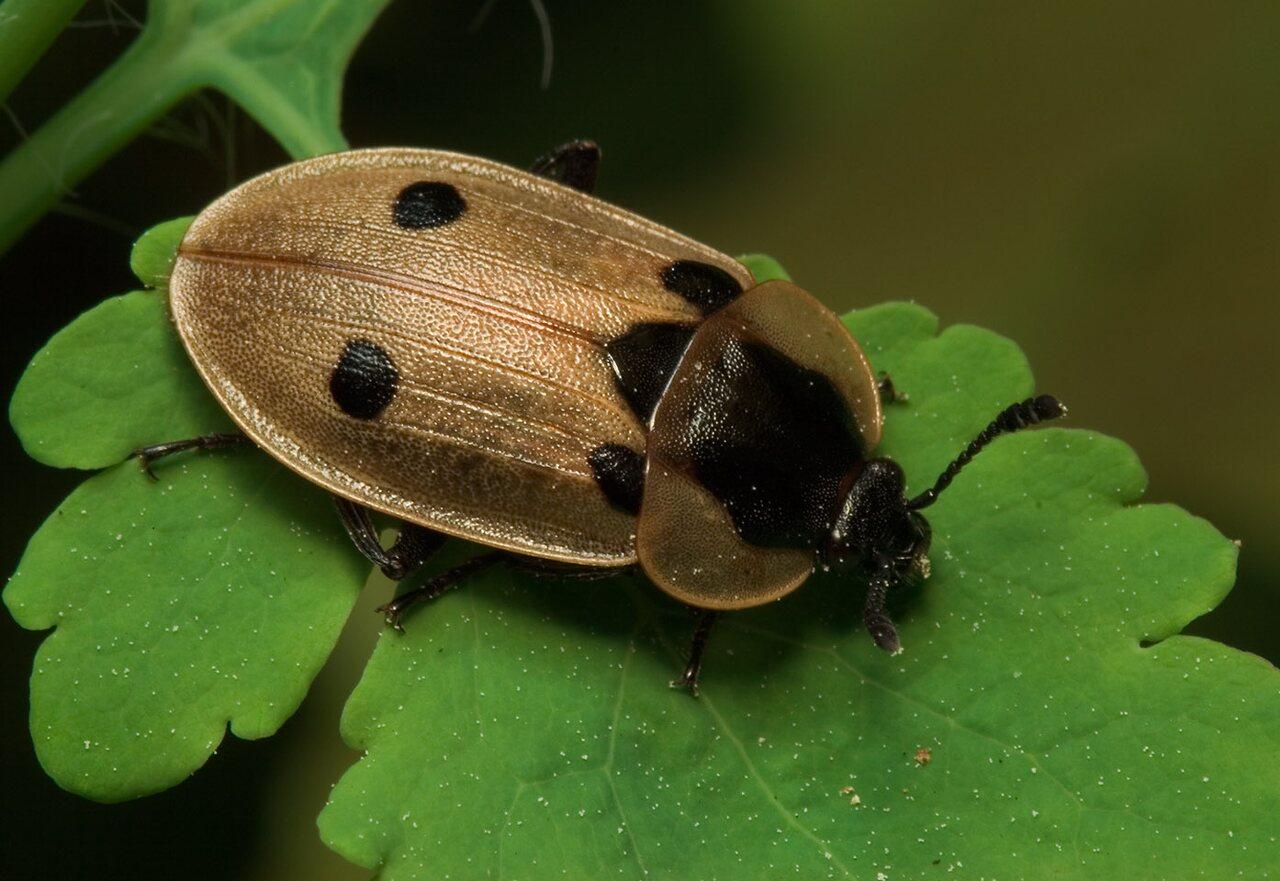 Dendroxena-quadrimaculata-7846.jpg
