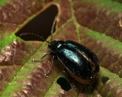 Agelastica alni female · mėlynasis alksniagraužis ♀