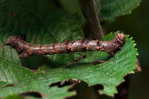 Crocallis elinguaria caterpillar · geltonasis dvijuostis sprindžius, vikšras