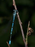 Coenagrion puella, male · pasaginė strėliukė ♂