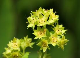 Alchemilla aggr. vulgaris · paprastoji rasakila
