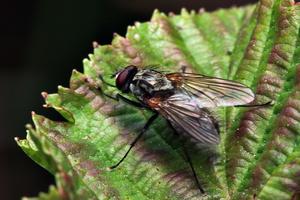 Diptera 7878