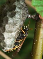 Polistes nimpha · pievinė popiervapsvė