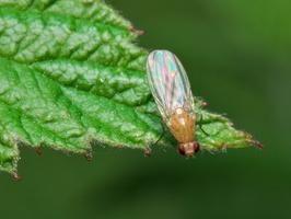 Diptera 7912