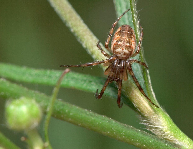 Tetragnathidae-7920.jpg