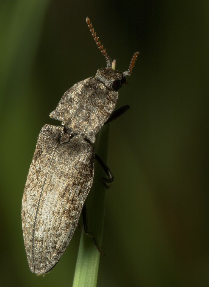 Agrypnus-murinus-7925.jpg