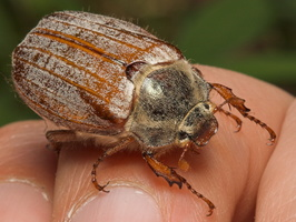 Melolontha melolontha female · paprastasis grambuolys ♀