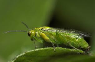 Rhogogaster punctulata · pjūklelis