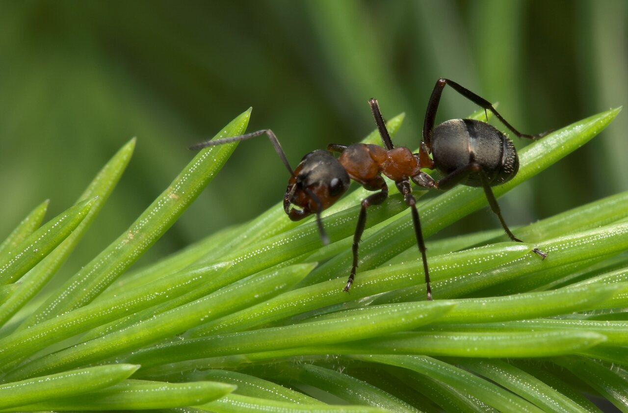 Formicidae-7964.jpg