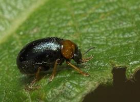 Smaragdina flavicollis · alksninė smaragdina