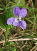 Viola mirabilis · puošnioji našlaitė
