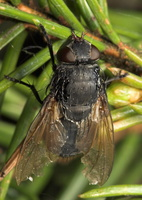 Diptera 7971