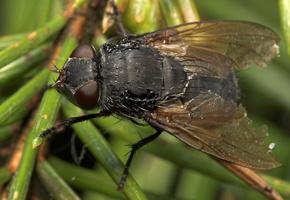 Diptera 7972