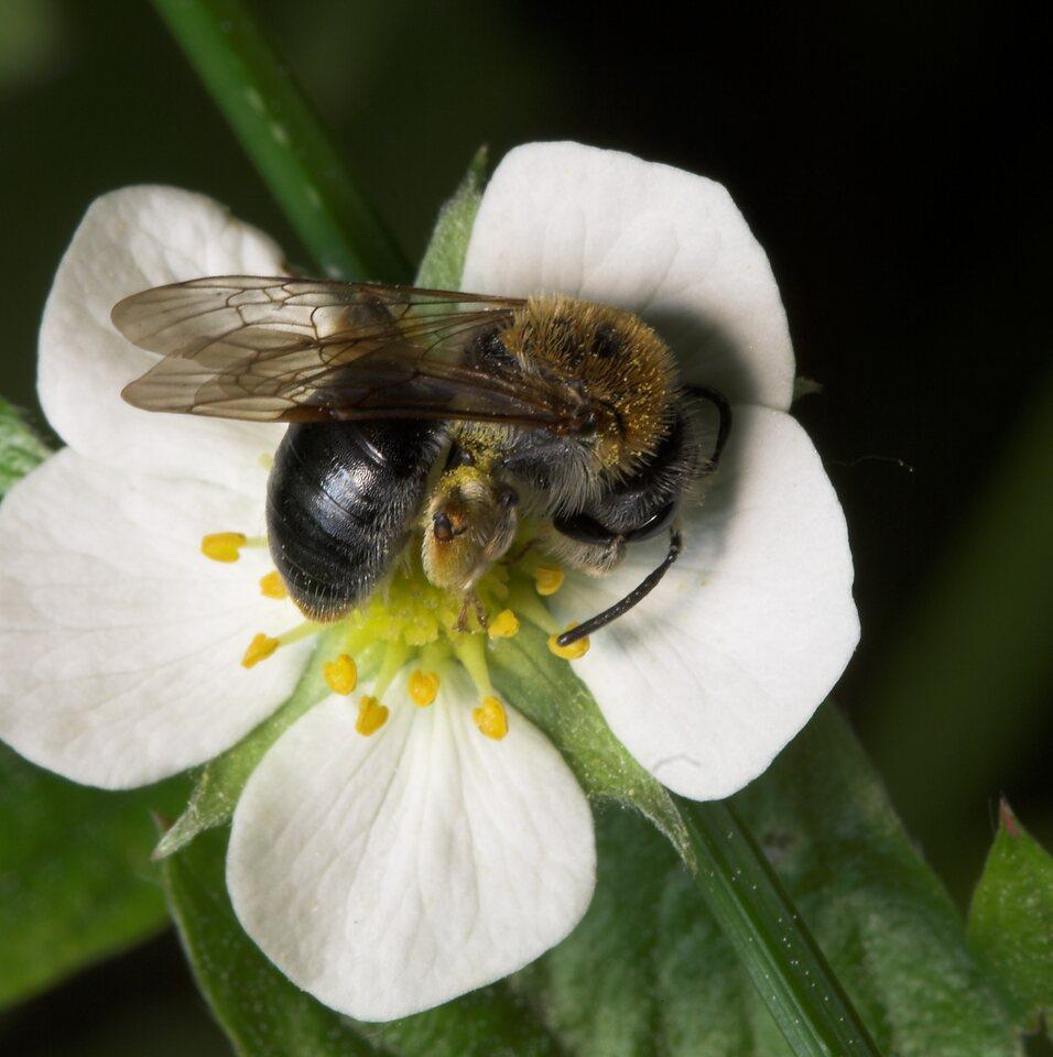 Apidae-7976.jpg