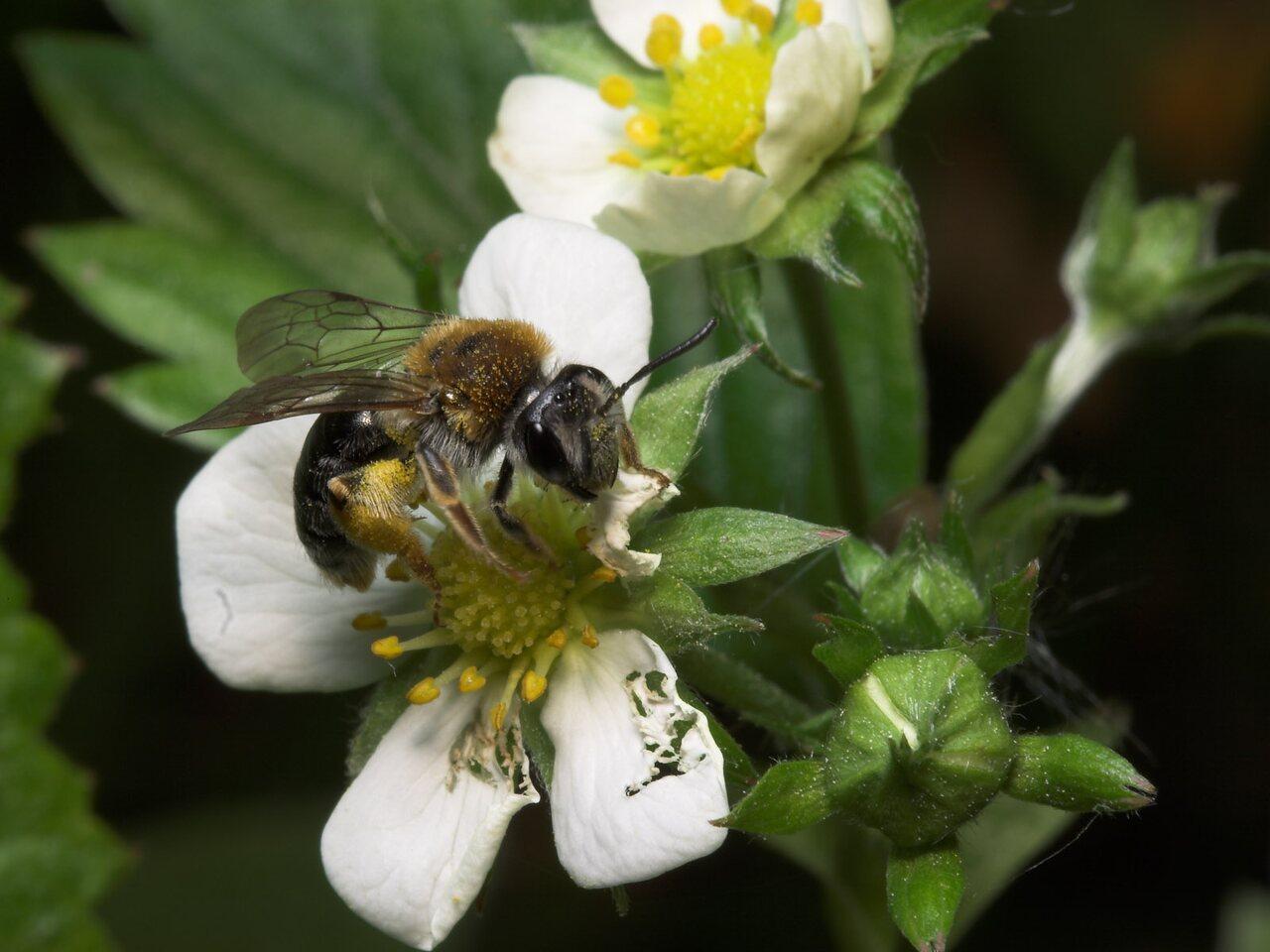 Apidae-7977.jpg