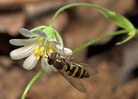 Syrphus vitripennis · žiedmusė