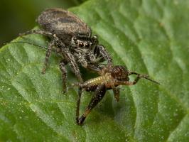 Evarcha falcata female · blizgantysis musėgaudis ♀