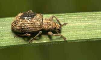 Sciaphilus asperatus · raktažolinis straubliukas