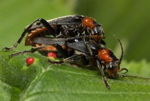 Cantharis fusca mating · paprastasis minkštavabalis poruojasi
