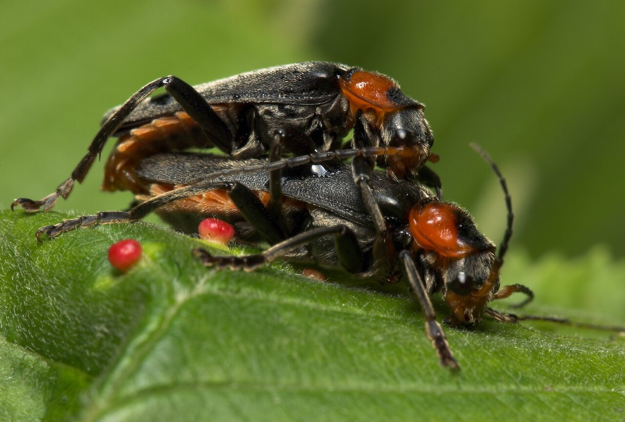 Cantharis-fusca-8012.jpg