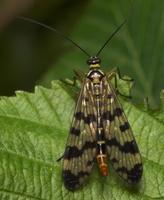 Panorpa communis female · paprastoji skorpionmusė ♀