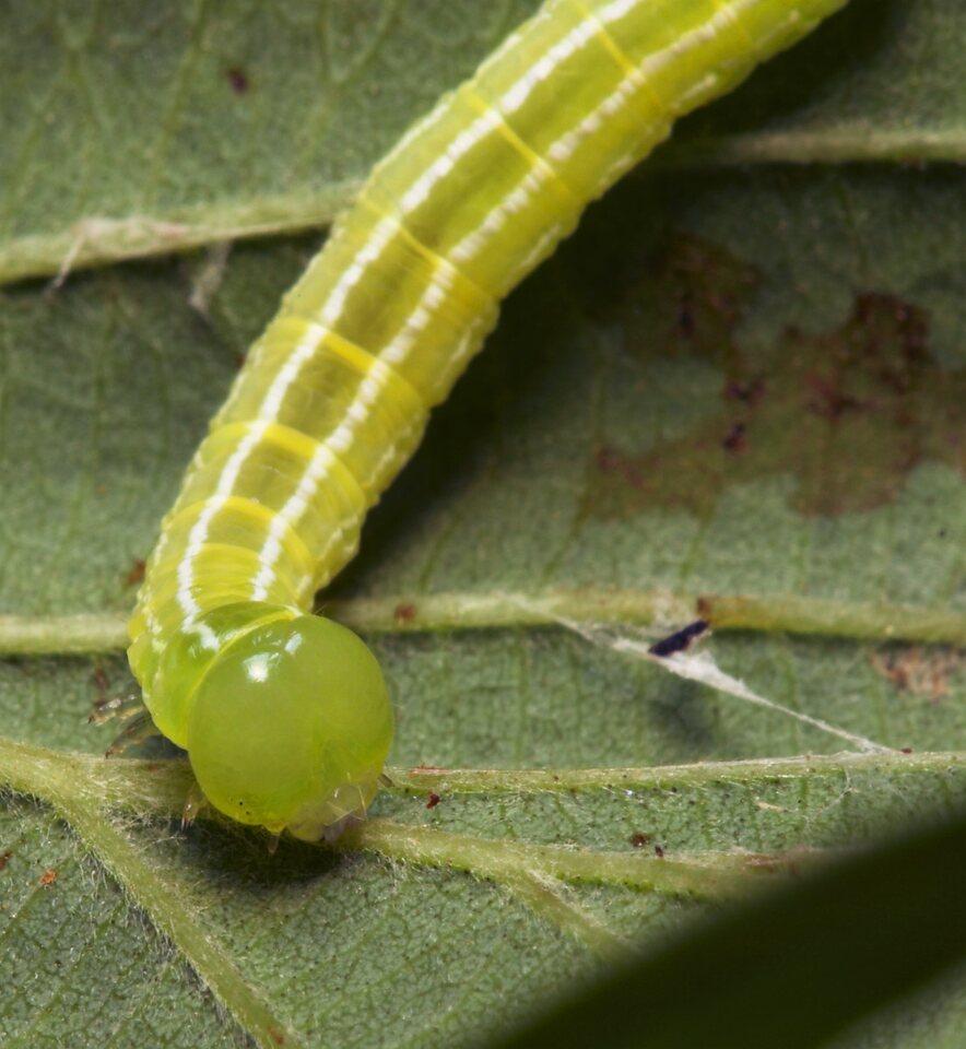 Lepidoptera-8032.jpg