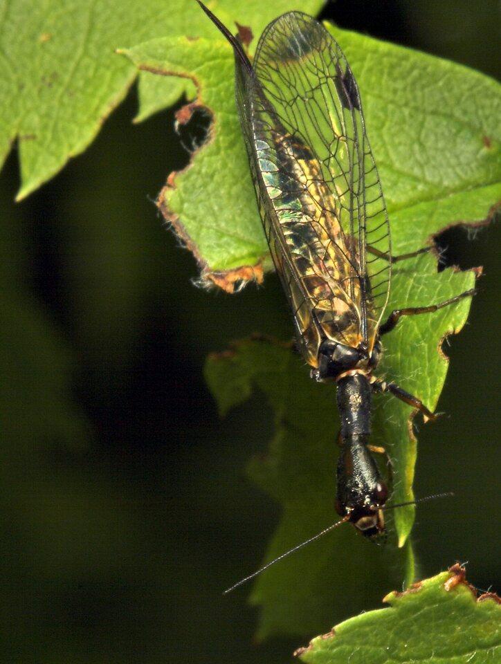Raphidiidae-8035.jpg