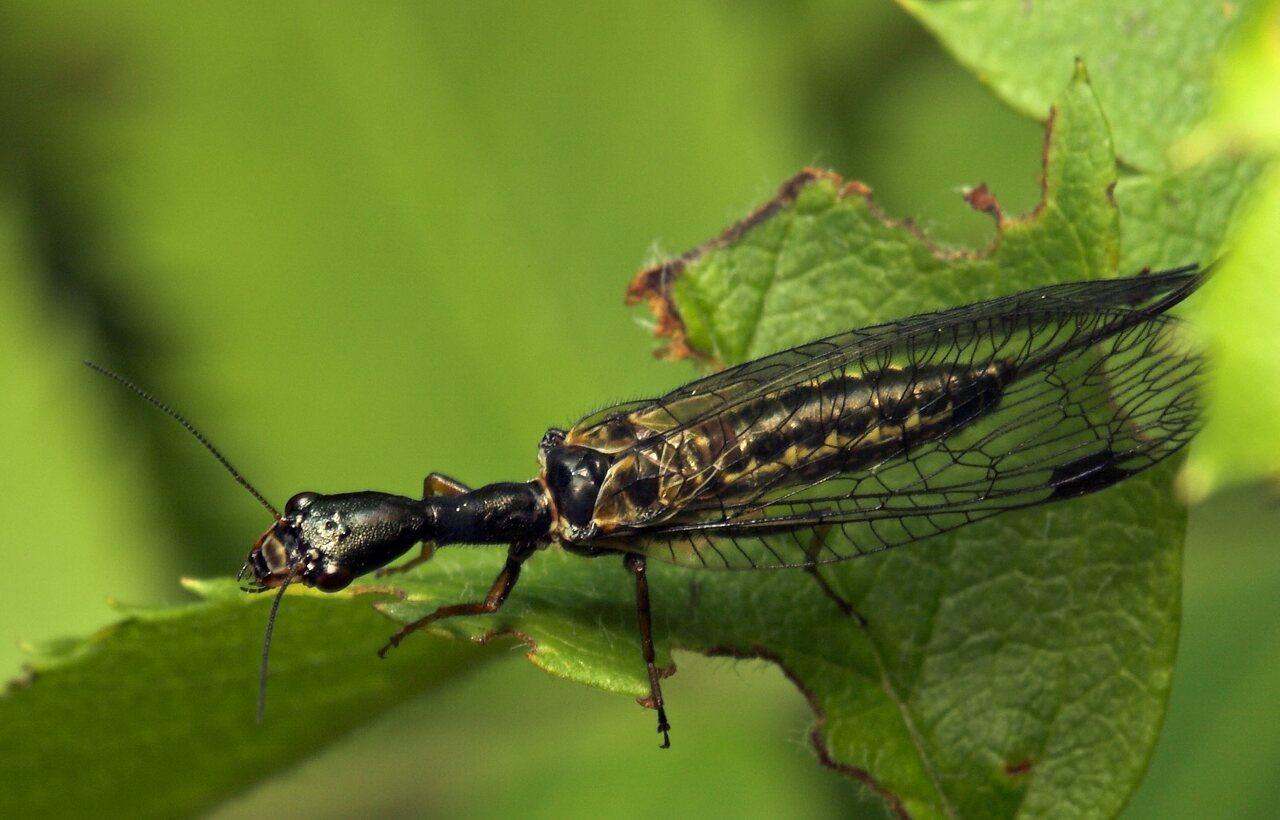 Raphidiidae-8037.jpg