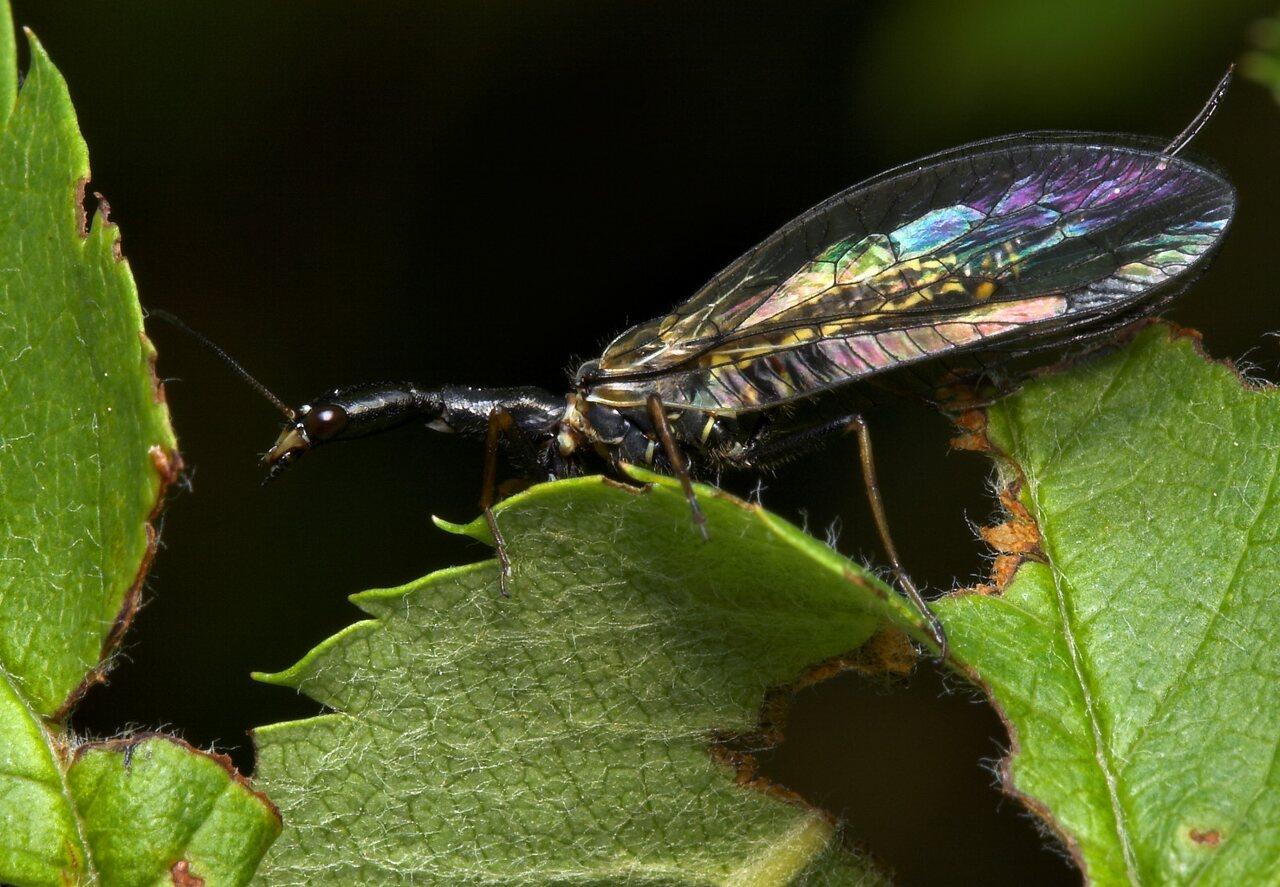 Raphidiidae-8039.jpg