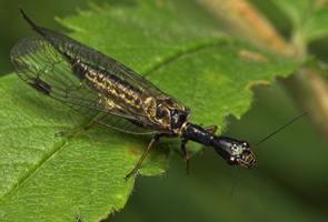 Raphidioptera · kupriukai