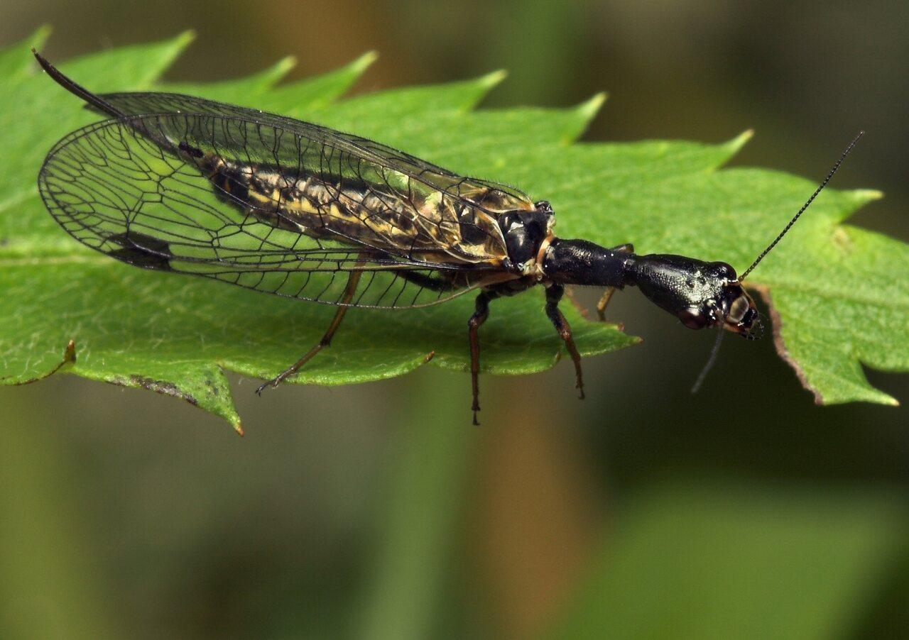 Raphidiidae-8041.jpg