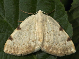 Lomographa bimaculata · dvitaškis balsvasprindis