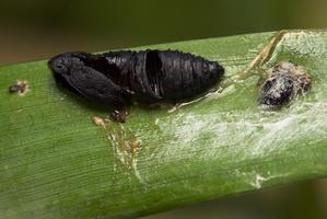 Lepidoptera pupa exuviae · drugys, lėliukė, išnara
