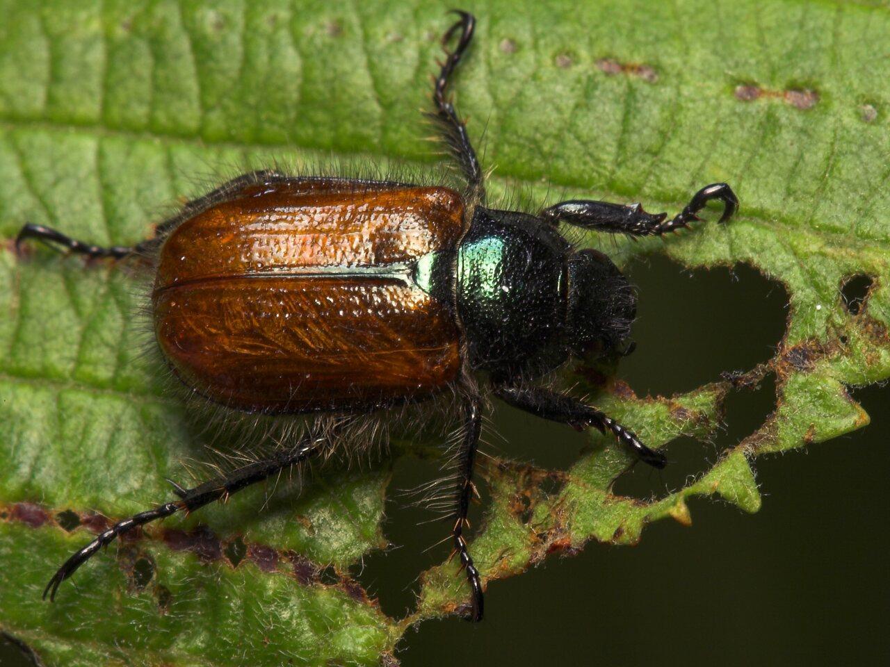 Phyllopertha-horticola-8047.jpg