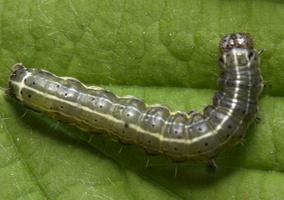 Orthosia cruda caterpillar · mažasis ankstyvasis pelėdgalvis, vikšras